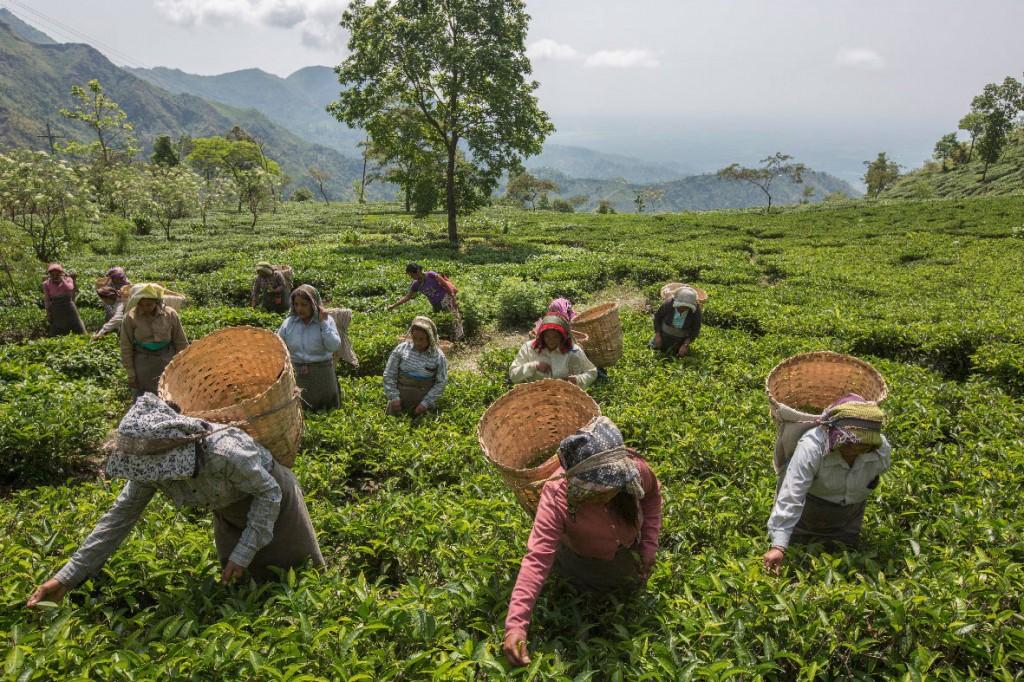 Pflückerinnen sammeln Teeblätter. Darjeeling-Tee ist weltweit einer der besten und teuersten mit einem Verkaufspreis bis zu 1.850,00 US-Dollar pro Kilo.